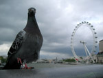 Pigeon (London Eye)