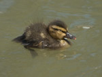 Small mallard asleep