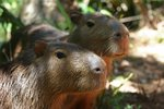 Couple of Capybaras