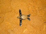 Emergence of a leatherback turtle (Guyana)