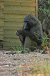 Baboon who is scratching his foot