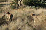 Cheetahs at Amani Lodge, Namibia