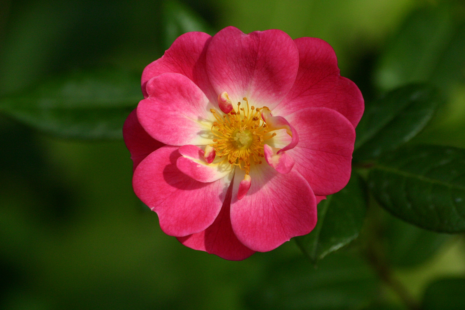 Pink Flower On Freemages