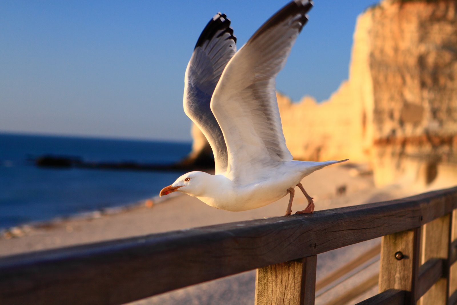 Gull in Etretat